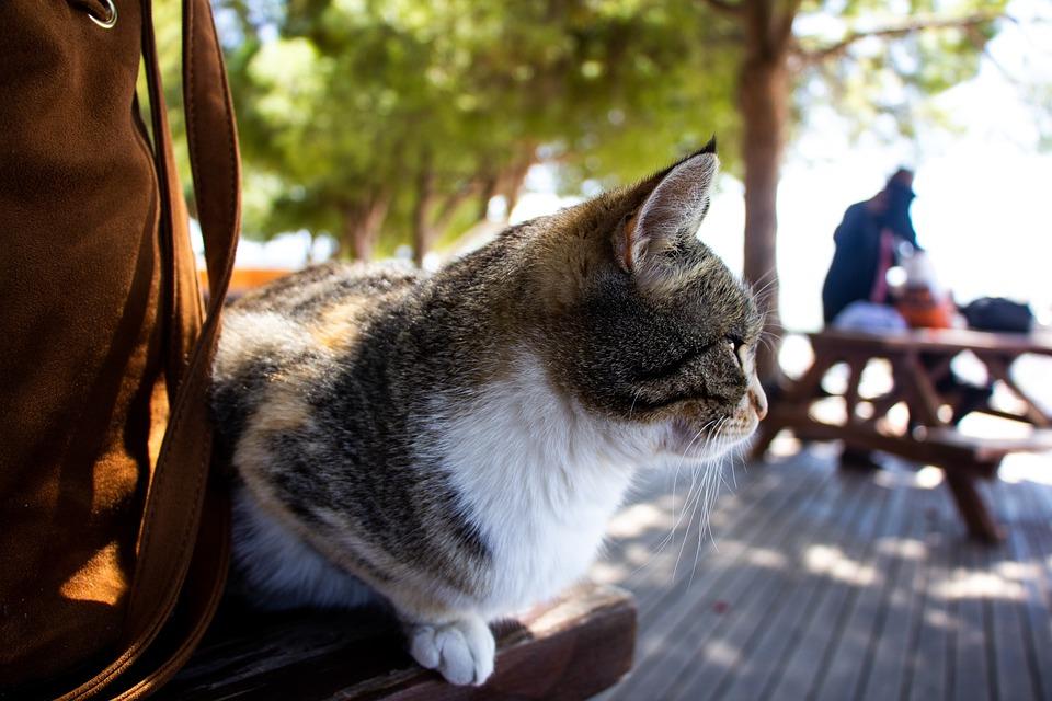 Cat, Animal, Pet, Feline, Kitten, Cute, Domestic, Fur