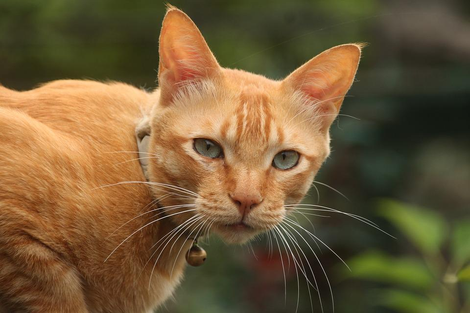 Cat, Animal, Cute, Portrait, Pet, Kitten, Kitty