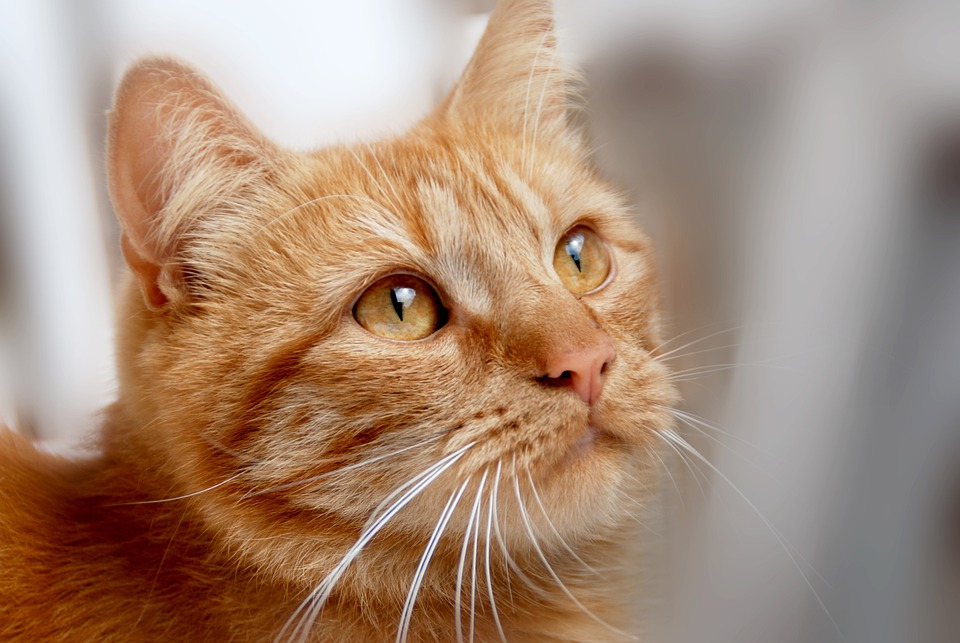 Cat, Red Tomcat, Cat Face, Domestic Cat, Kitten, Animal
