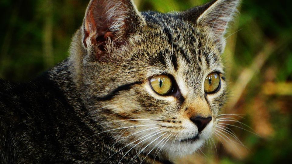 Cat, Kitten, Tabby Cat, Kitty, Pet, Animal, Mammal