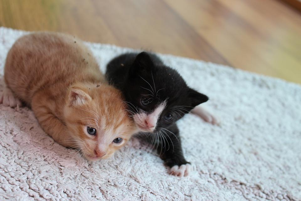 Kitten, Cat, Pet, Cats, Cute, Pets, Two, Cute Animals