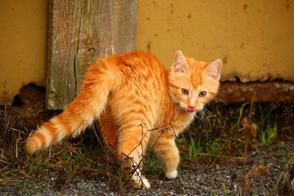 Cat, Kitten, Cat Baby, Red Mackerel Tabby, Young Cat