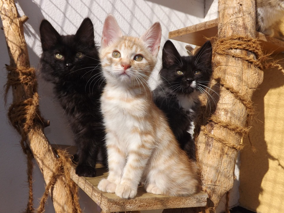 Kurilian Bobtail, Kittens, Black Cat