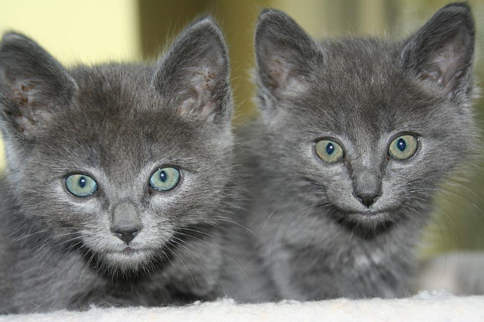 Cats, Kittens, Russian Blue, Pet, Cute, Animal, Feline