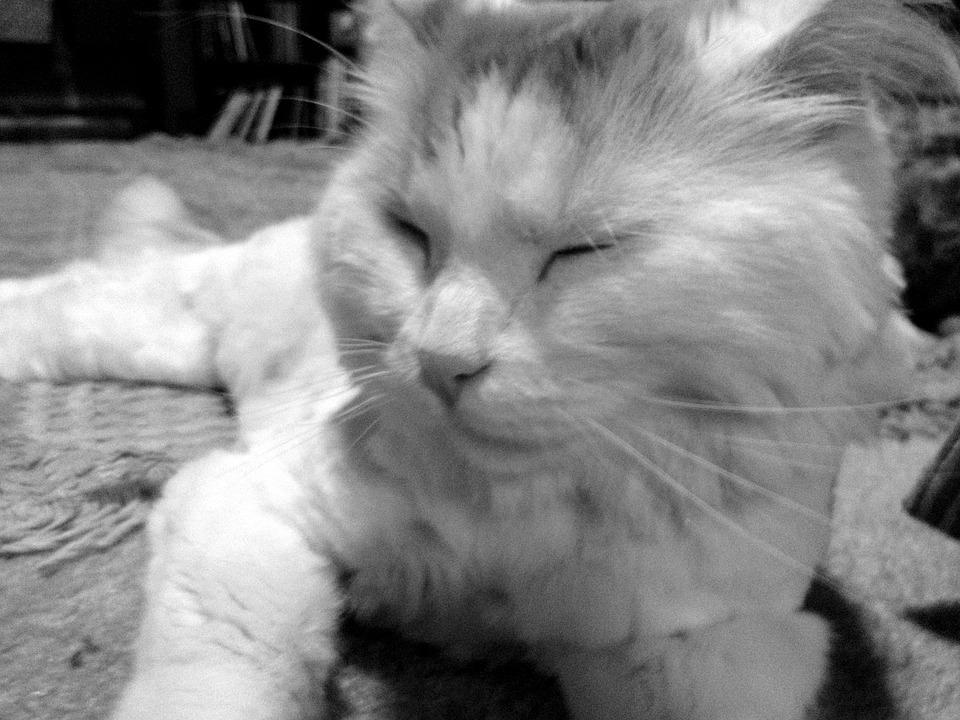 Cat, Pet, Black, White, Animal, Cute, Kitty, Mammal
