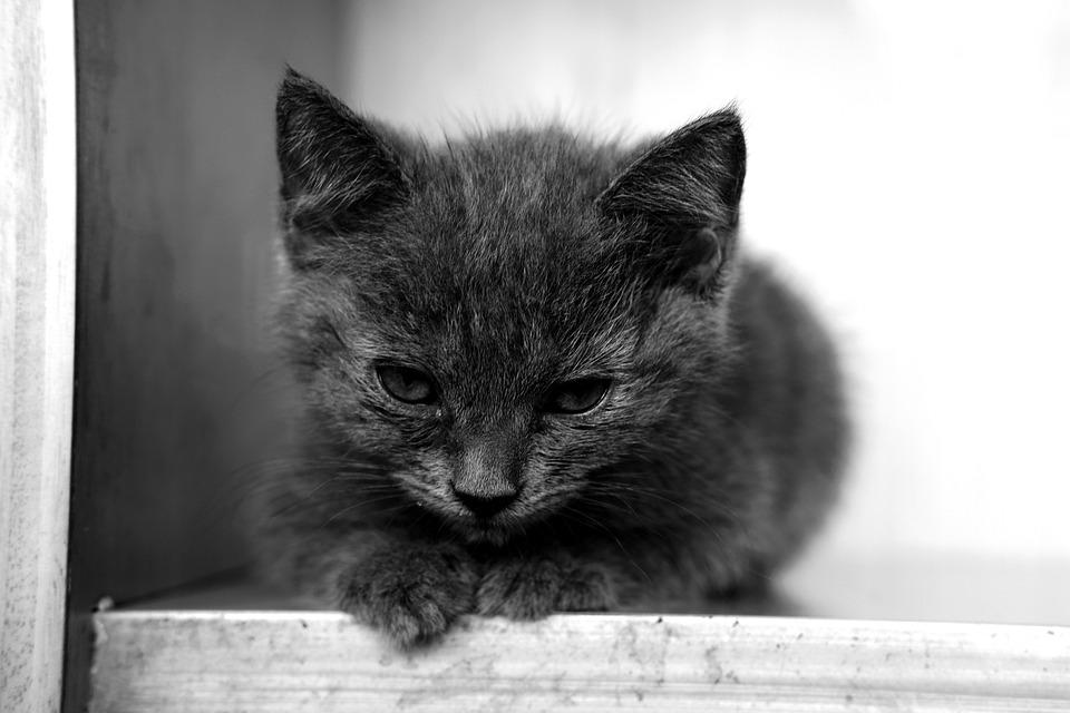 Cat, Kitten, Kitty, Pet, Animal, Cute, Fur, Furry, Baby