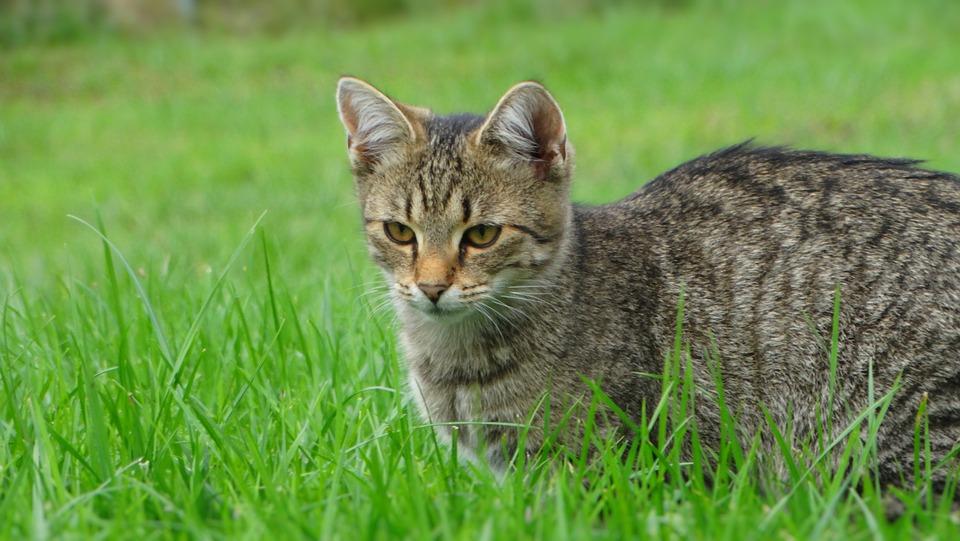 Cat, Pet, Feline, Kitten, Animal, Fur, Kitty, Mammal
