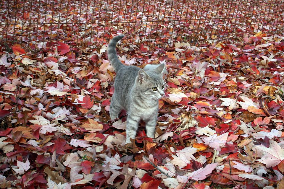 Cat, Kitty, Gray Cat, Autumn, Fall, Red Leaves, Tabby