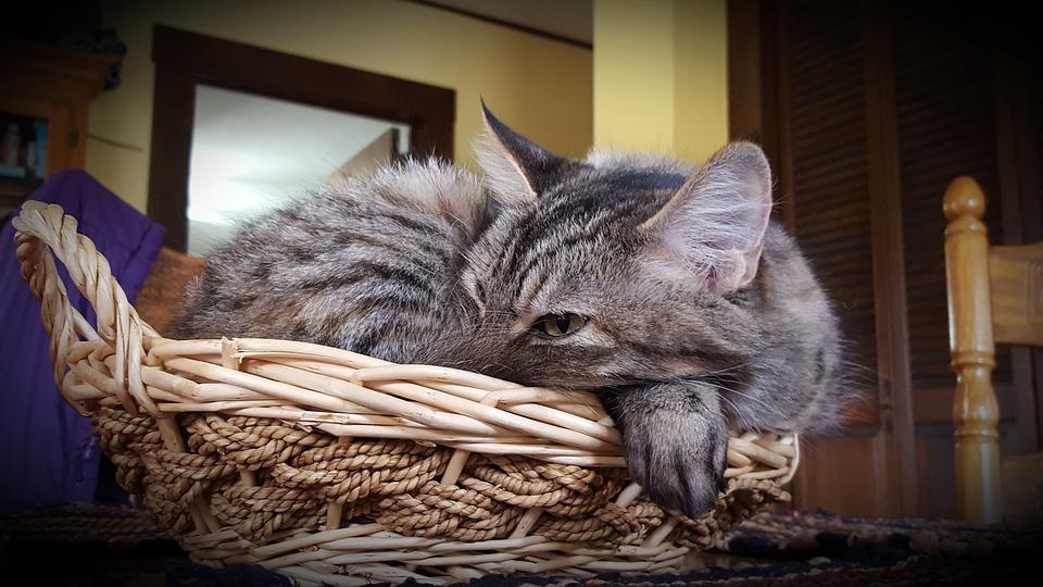 Cat, Cat In Basket, Kitty, Kitty In Basket, Kitten