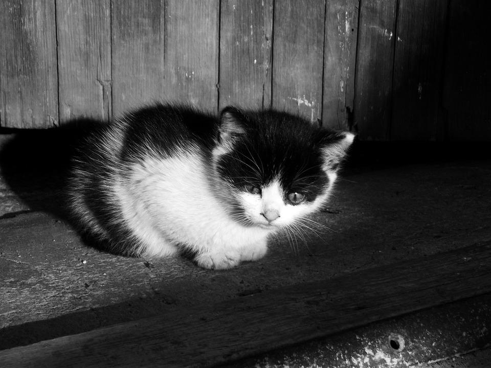 Cat, Kitten, Kitty, Pet, Cute, Black Kitten
