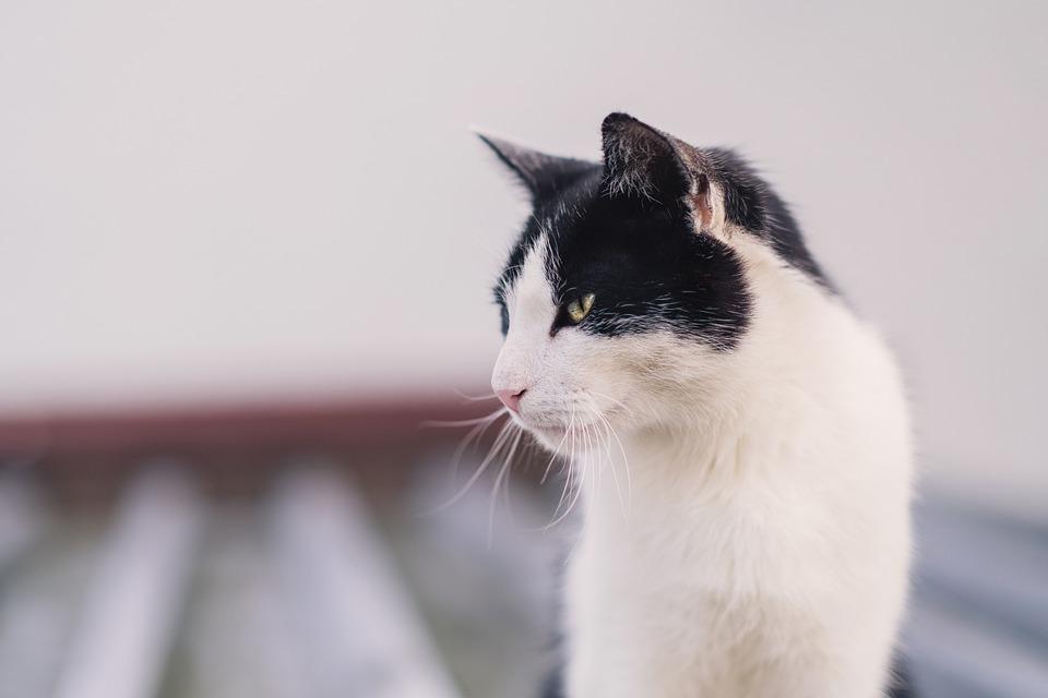 Animal, Cat, Mammal, Feline, Pet, Kitty, Whiskers, Head