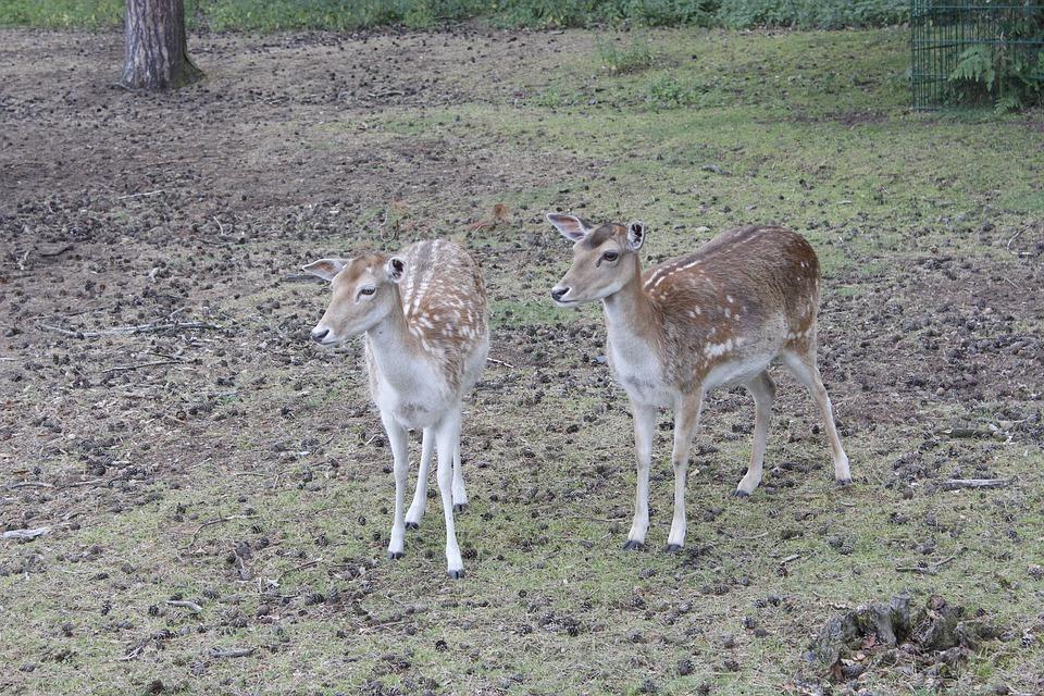 Deer, Kitz, Nature, Fallow Deer, Roe Deer