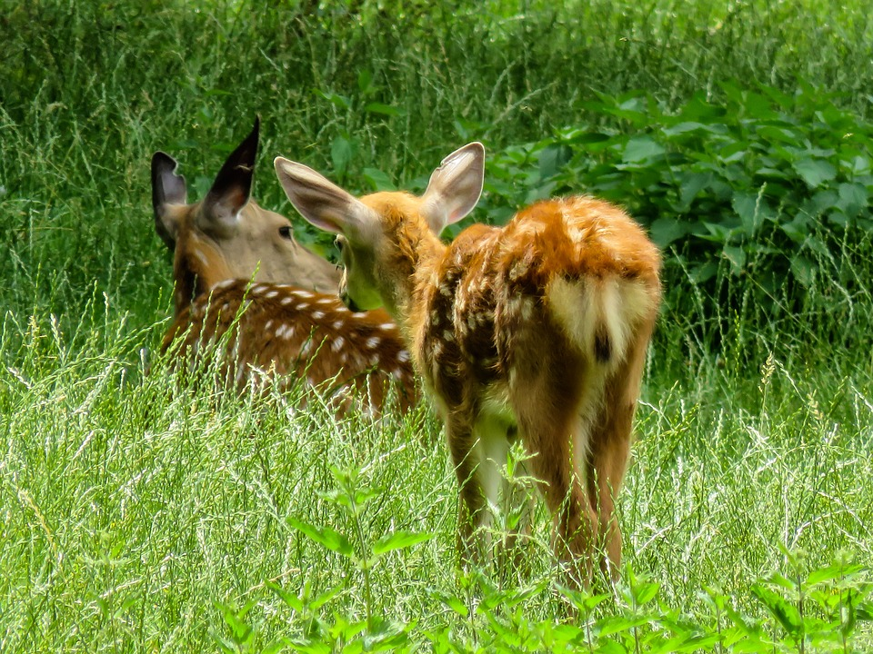Animal, Fallow Deer, Kitz, Red Deer, Roe Deer, Scheu