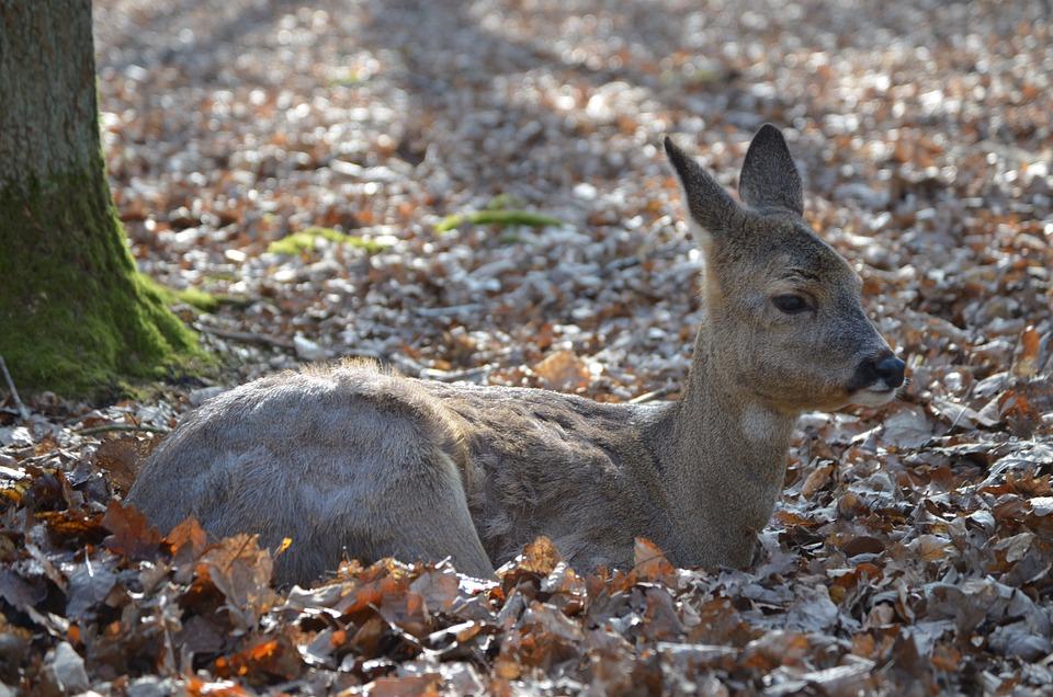 Red Deer, Fawn, Roe Deer, Kitz, Wildlife Park, Wild