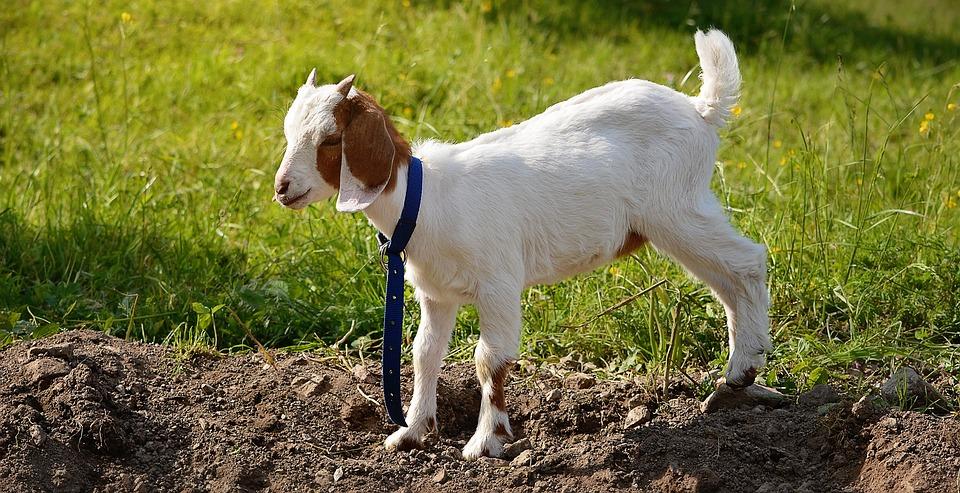 Goat, Kitz, Young Animal, Brown White, Mammal, Animal