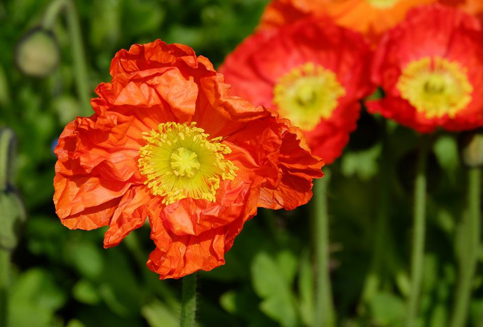 Poppy, Klatschmohn, Flower, Blossom, Bloom, Flowers