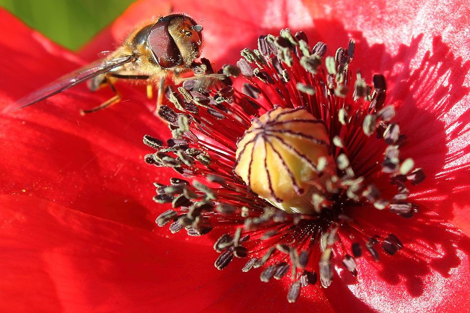 Hoverfly, Insect, Poppy, Klatschmohn, Blossom, Bloom