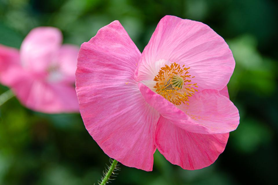 Klatschmohn, Poppy, Blossom, Bloom, Pink, Meadow