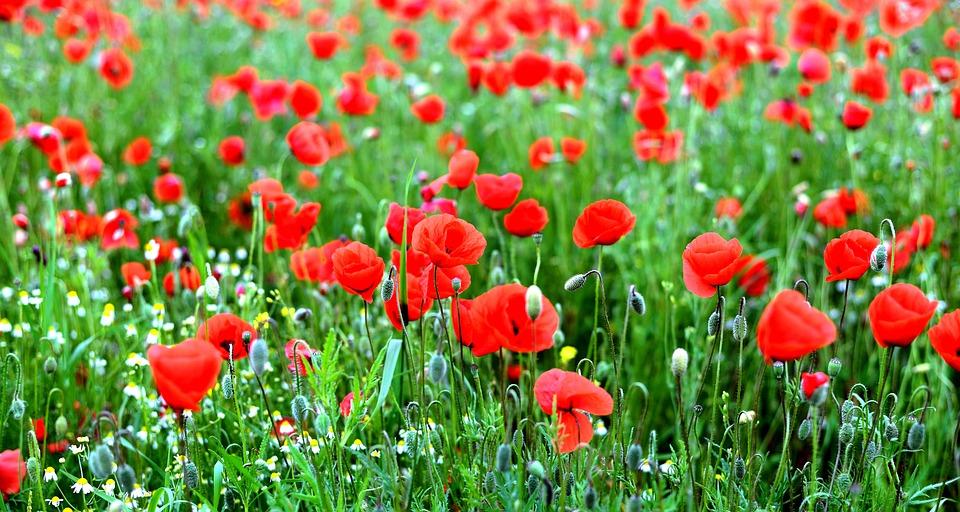 Poppies, Poppy Field, Poppy, Klatschmohn, Plant, Nature