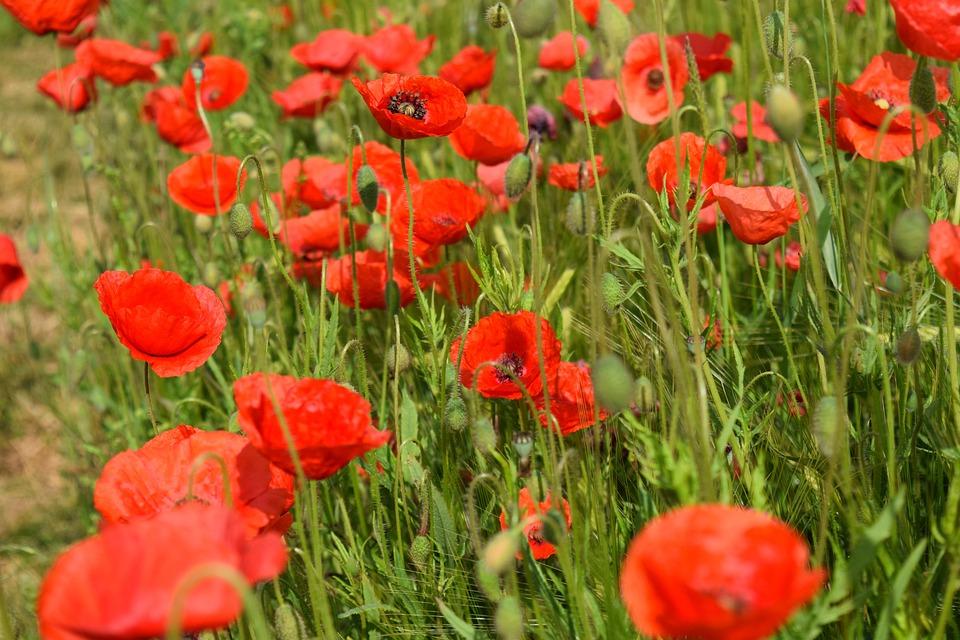 Free photo klatschmohn poppy field of poppies poppy flower red max poppy klatschmohn red poppy flower field of poppies mightylinksfo Choice Image