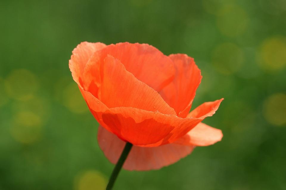 Klatschmohn, Papaver Rhoeas, Poppy, Poppy Flower
