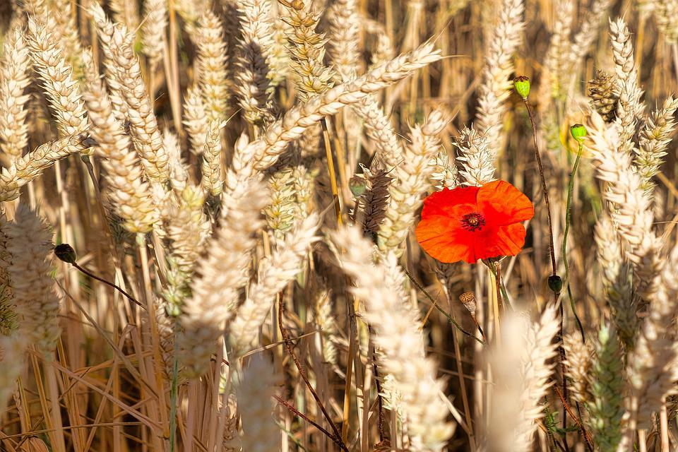 Poppy, Grain, Summer, Poppy Flower, Klatschmohn