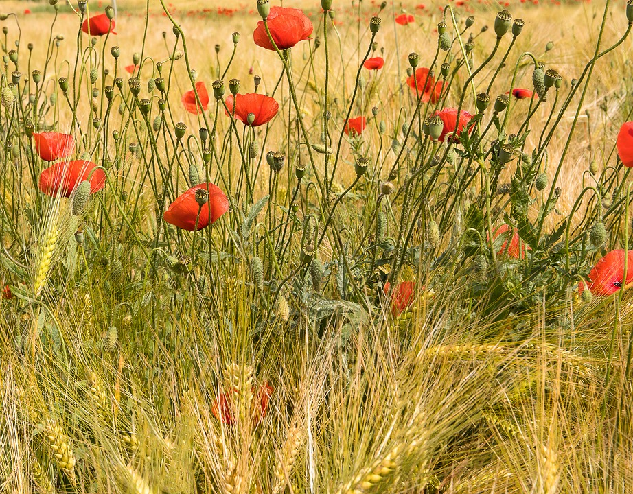 Klatschmohn, Poppy, Poppies, Poppy Flower, Red Poppy