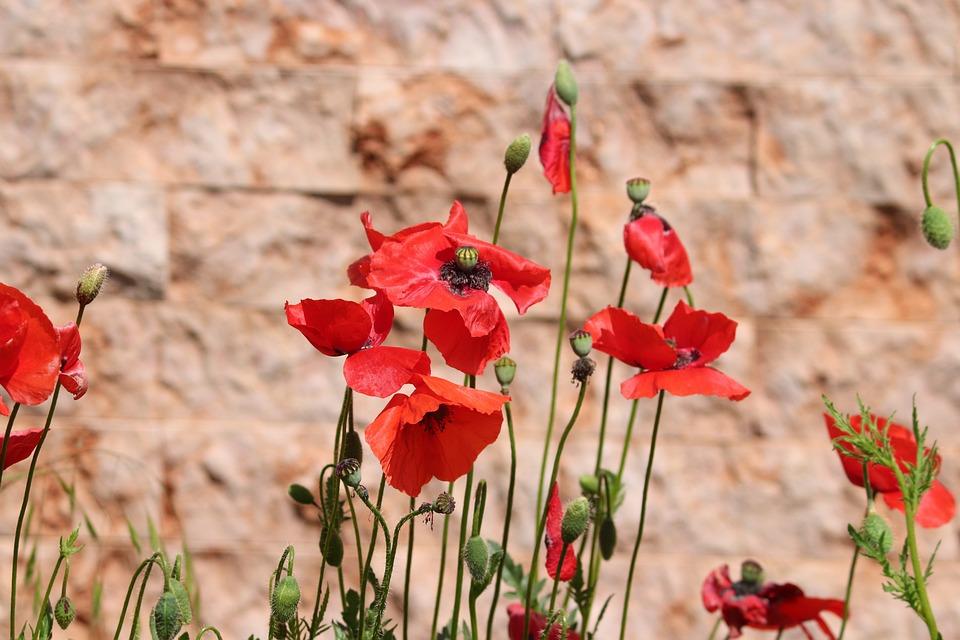 Poppies, Poppy Flower, Klatschmohn, Poppy, Red, Wall