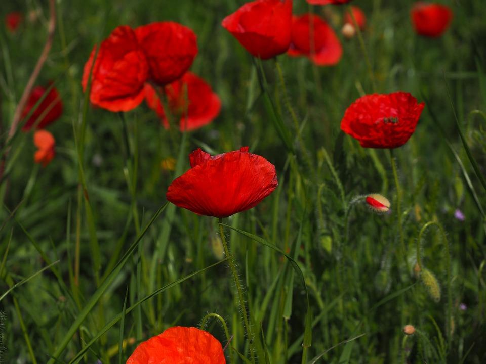 Poppies, Field Of Poppies, Klatschmohnfeld, Klatschmohn