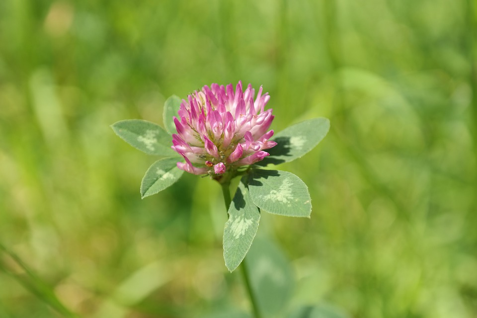 Red Clover, Klee, Pointed Flower, Fodder Plant, Pink