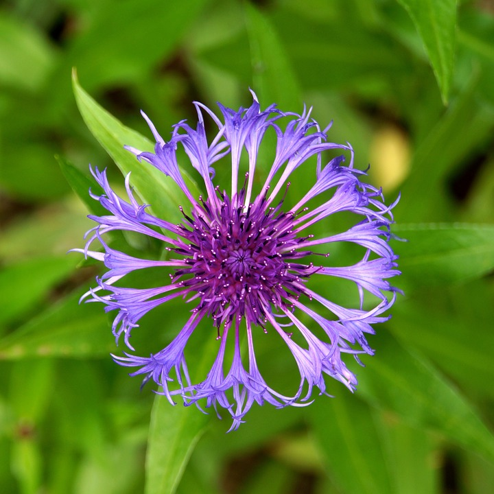 Mountain Cornflower, Blue Flower, Knapweed, Frail, Few