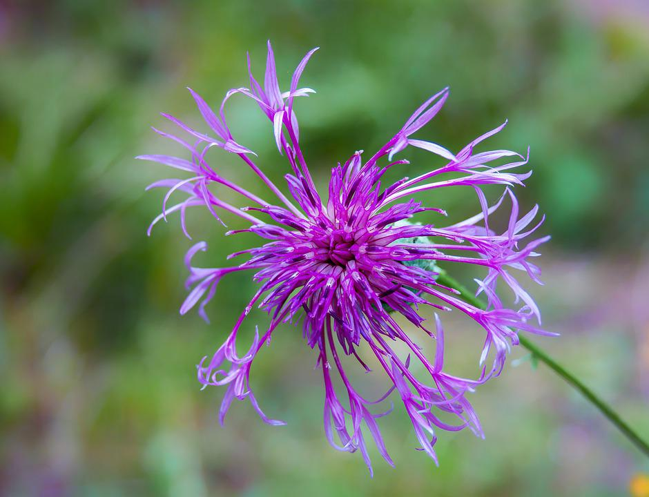 Knapweed, Greater, Wildflower, Purple, Plant, Flower