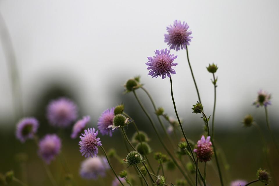 Meadow Widow Flower, Knautia Arvensis, Spring, Blooming