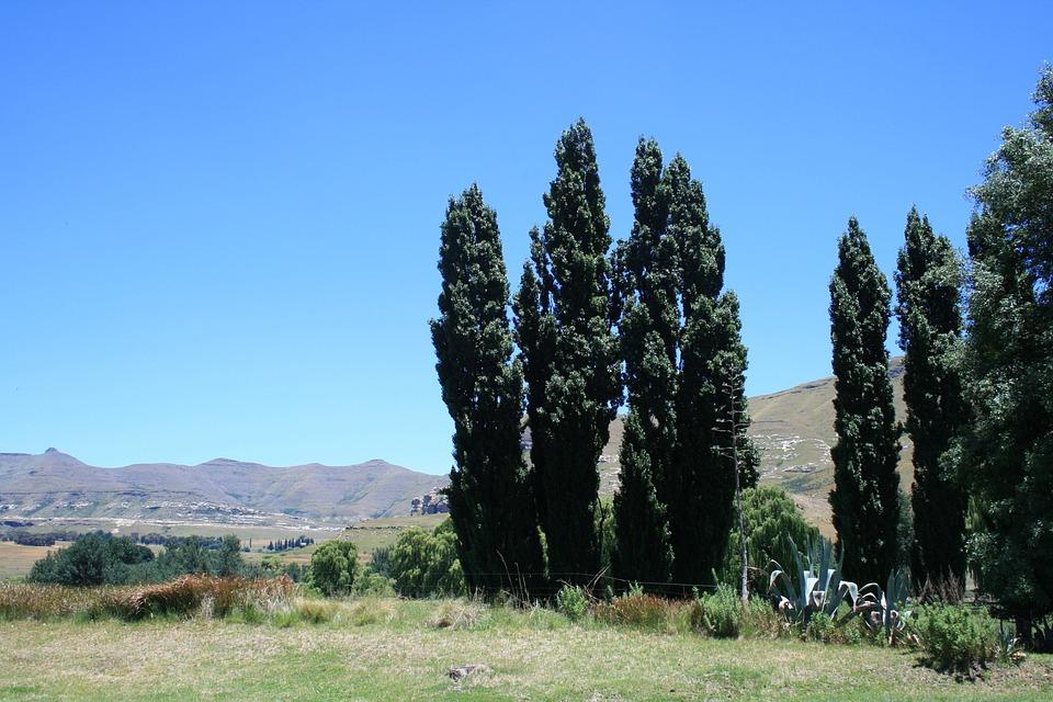 Lombardi Poplar, Known To Clarens Region