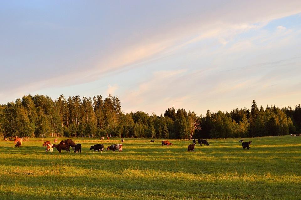 Ko, Cows, Landscapes, Bed, Sweden, Calf, Cow, Together
