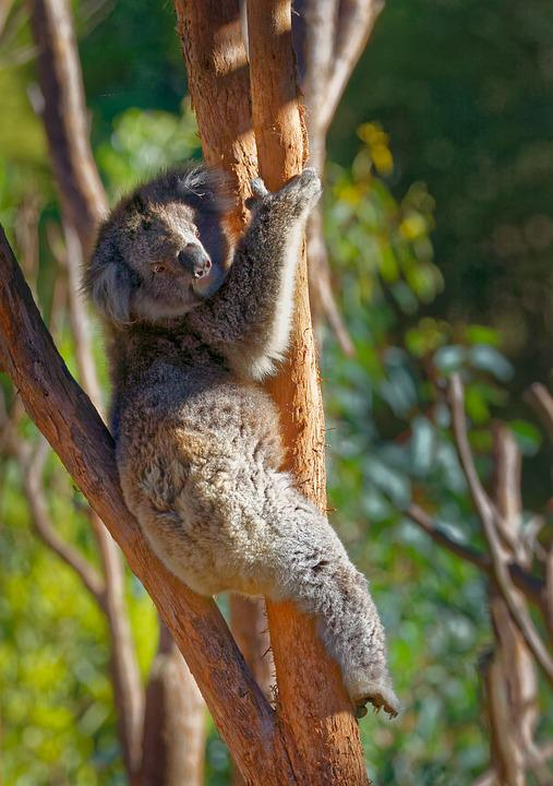 Koala, Koala Bear, Animal, Australia, Cute, Bear