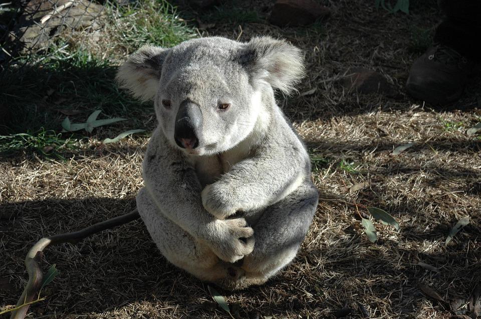 Koala Bear, Koala, Native Animal, Australian, Bear