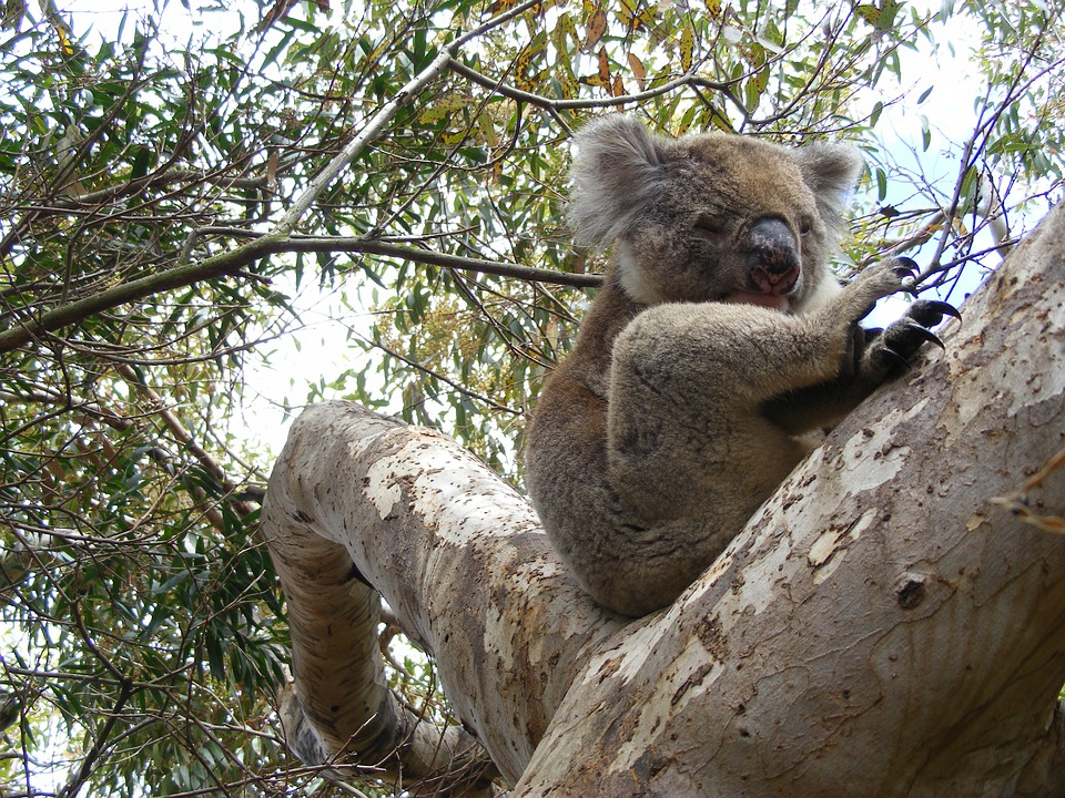 Koala, Eucalyptus, Sleep, Koala Bear, Lazy
