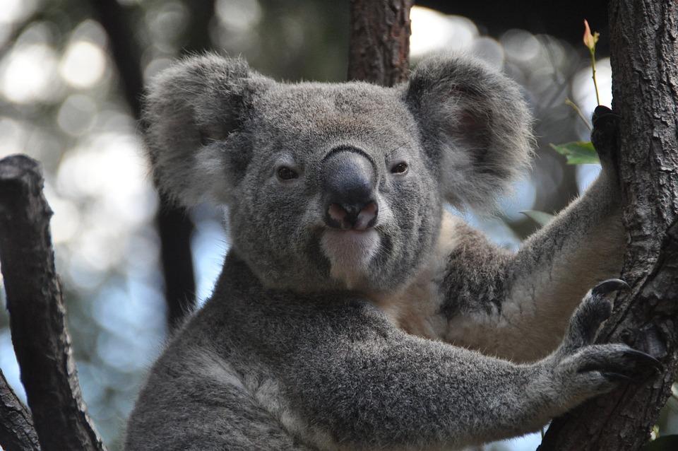 Koala, Australia, Koala Bear, Purry