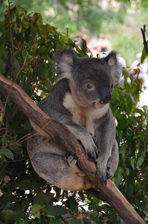 Koala Bear, Bear, Animal, Cute, Branch, Relax