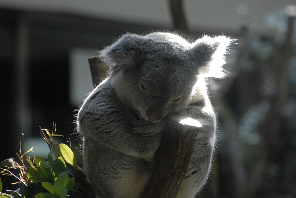Koala, Zoo, Comfort, Australia People, Animal, Nature