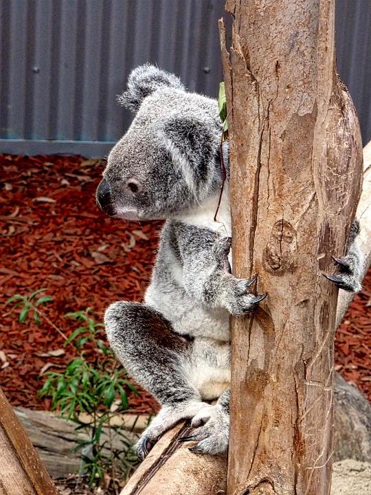 Koala, Bear, Australia, Native, Cute, Icon, Endangered
