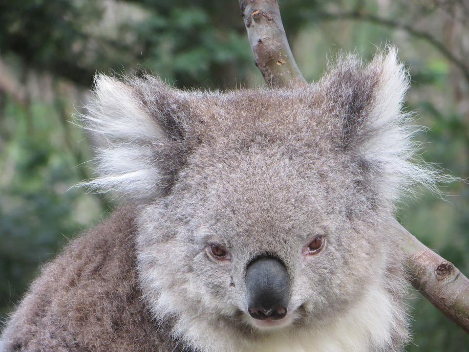 Koala, Australia, Wildlife, Animal, Native, Marsupial