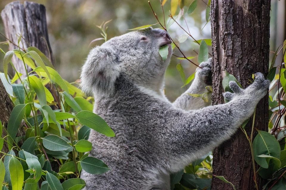 Koala, Tree, Australia