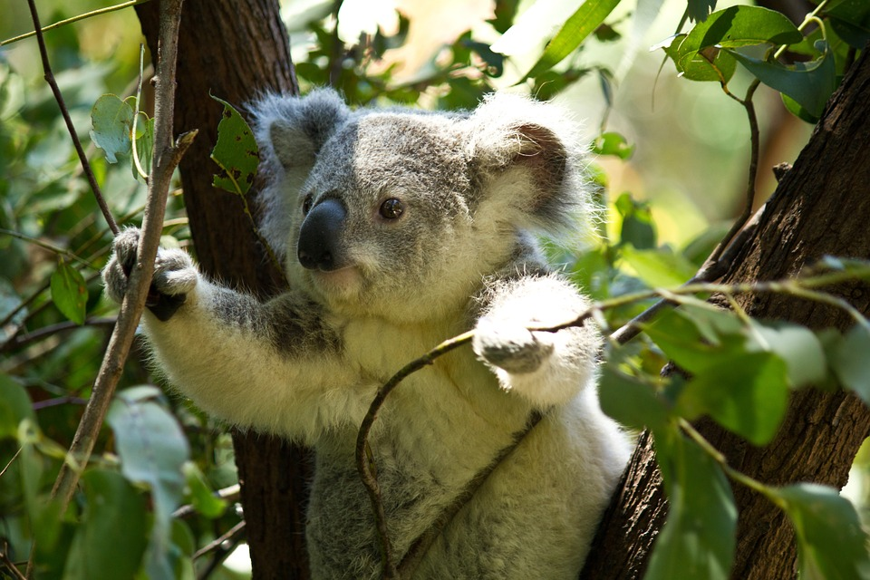 Koala, Bear, Koala Bear, Wild, Wildlife, Animal, Zoo