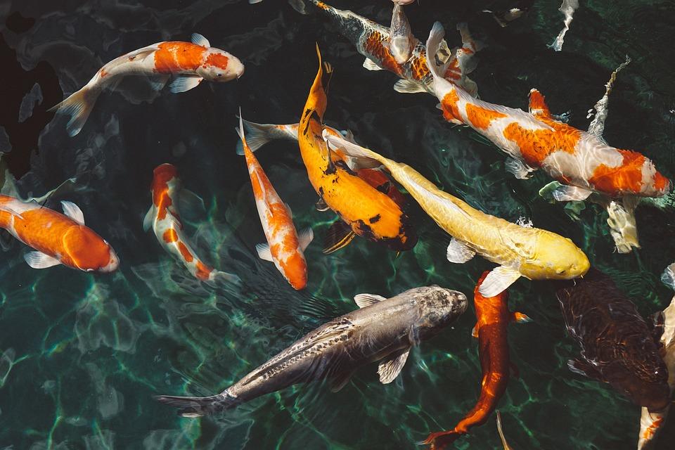 Koi Fish, Animals, Fish, Swimming, Underwater, Water