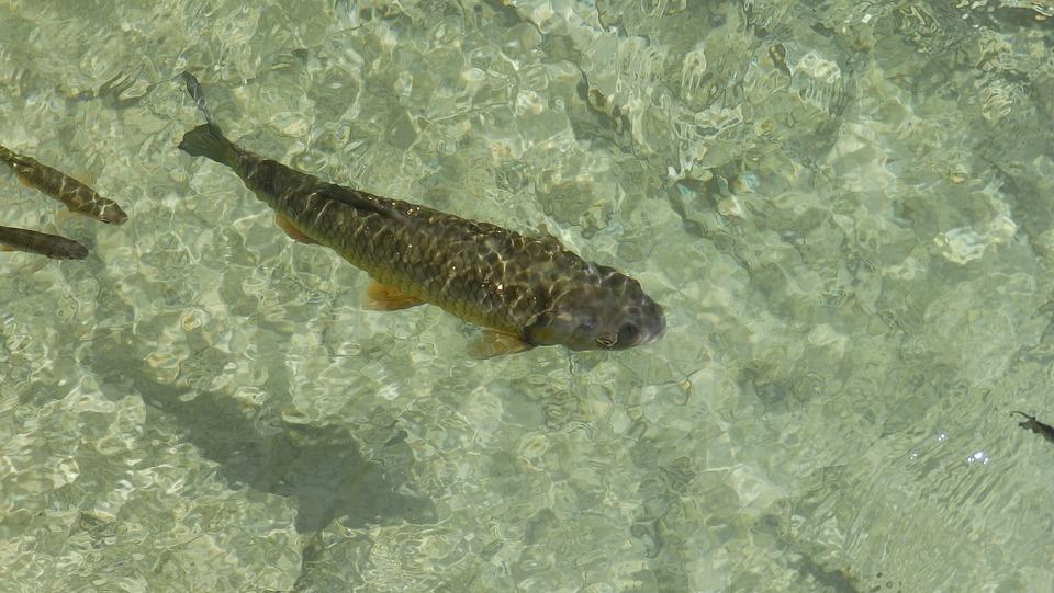 Fish, Carp, Lagoon, Goldfish, Koi