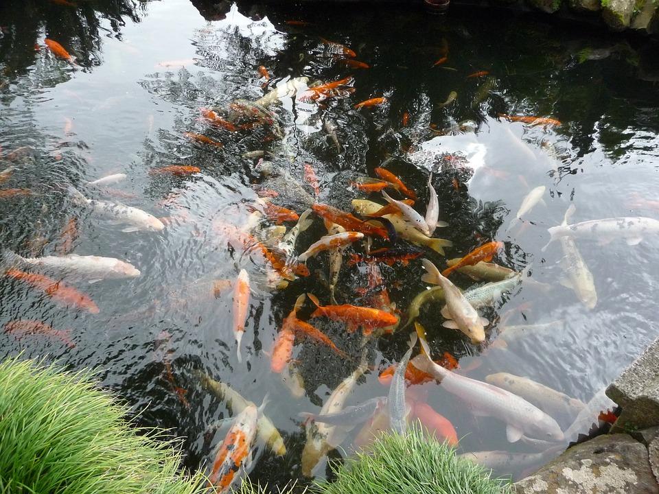 Free photo koi japanese koi carp pond garden pond max pixel for Koi teichfische