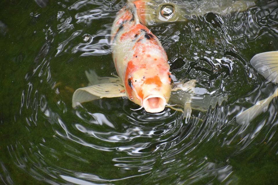 Koi, Fish, Pond, Animal, Pet, Open Mouth, Swimming