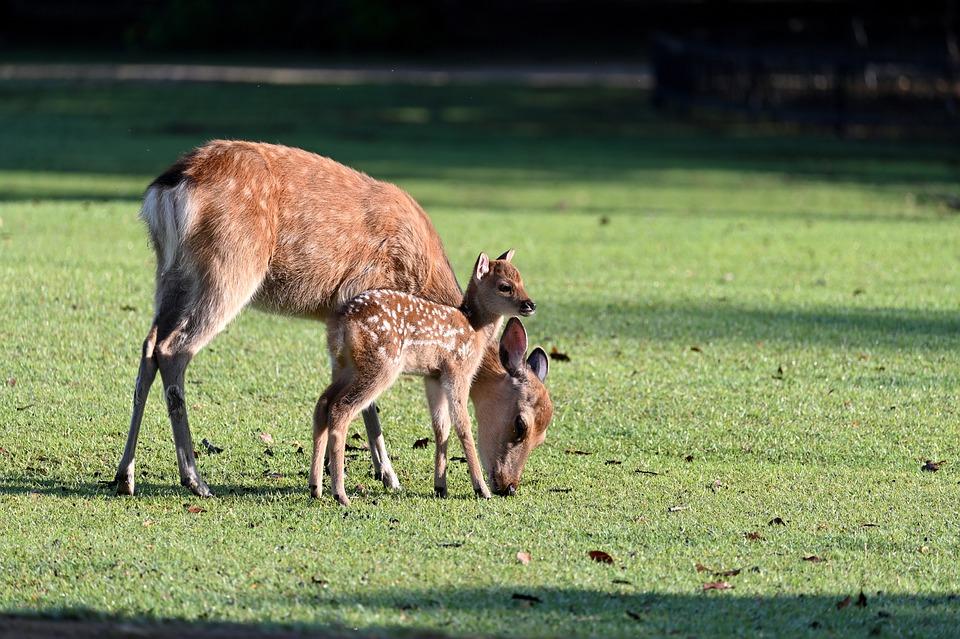 Deer, Parent Child, Morning, Cute, Kojika